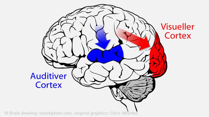 Gehirn: Visueller Cortex und auditiver Cortex